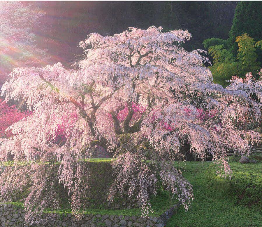 4月 又兵衛桜(奈良) 日本の朝 2022年カレンダーの画像