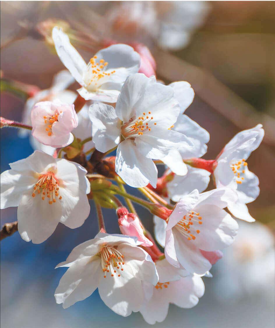 3-4月 サクラ スイセン 花 (Flower Scene) 2022年カレンダーの画像
