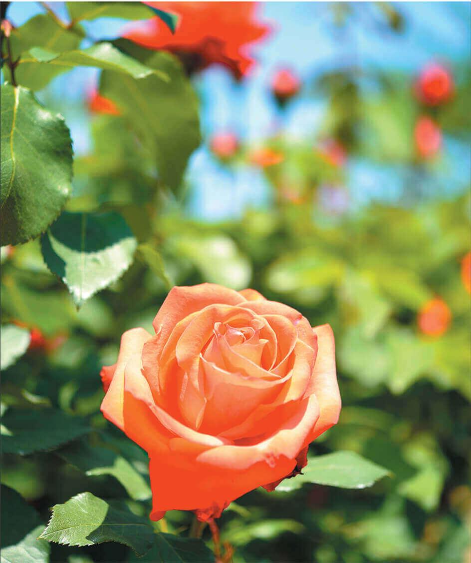 5-6月 バラ ボタン 花 (Flower Scene) 2022年カレンダーの画像
