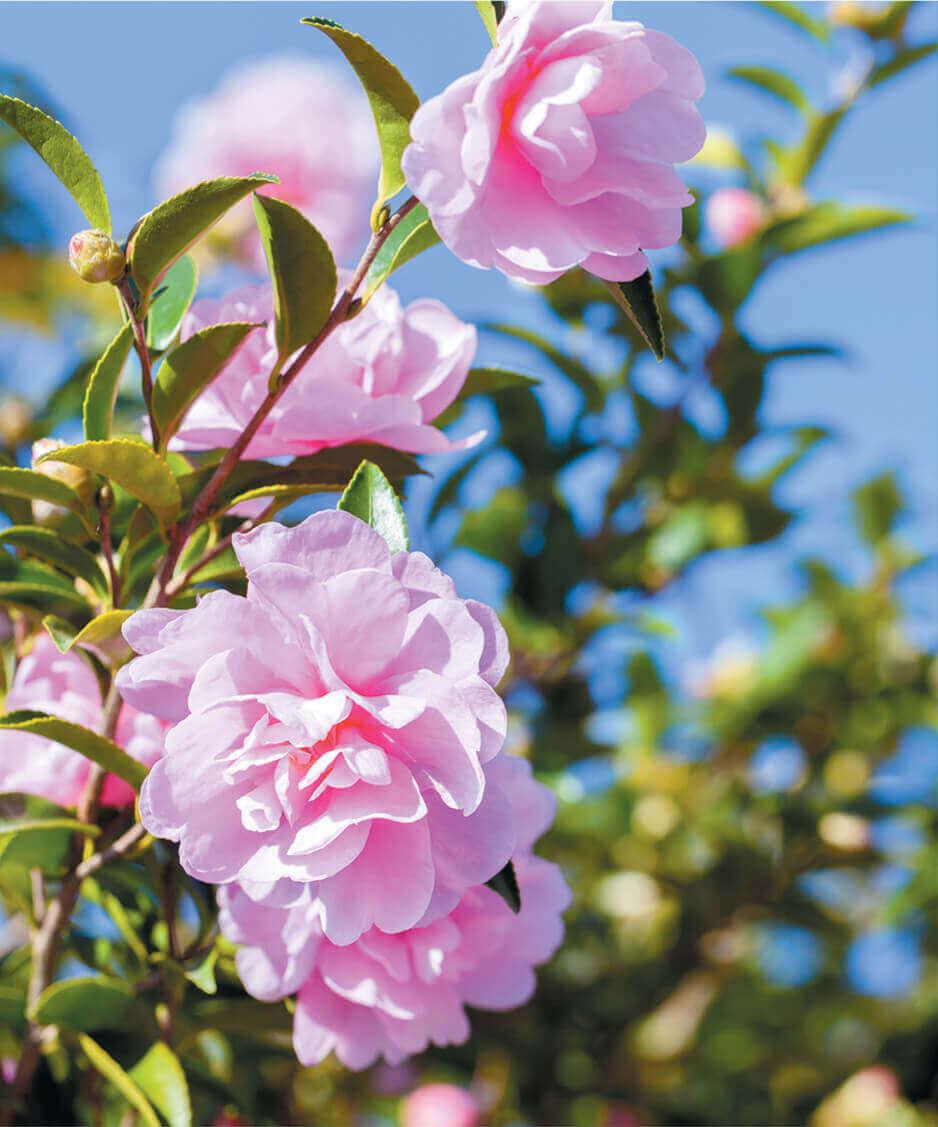 11-12月 サザンカ ロウバイ 花 (Flower Scene) 2022年カレンダーの画像