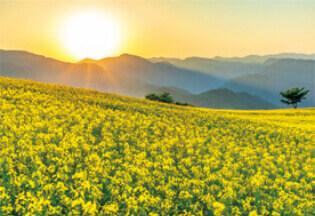 5月 三ノ倉高原菜の花畑(福島) 輝く太陽 2022年カレンダーの画像