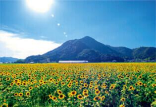 8月 若狭小浜 ひまわり畑(福井) 輝く太陽 2022年カレンダーの画像