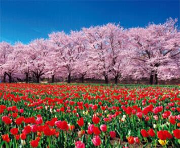 3-4月 深谷グリーンパーク チューリップと桜(埼玉) 花紀行 2022年カレンダーの画像