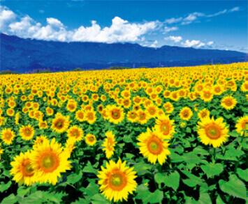 7-8月 明野町のひまわり畑(山梨) 花紀行 2022年カレンダーの画像