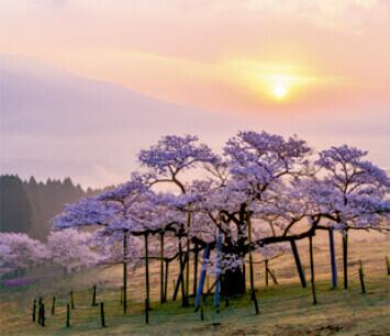 3-4月 観音桜(熊本) 日本の詩情(フィルムカレンダー・小) 2022年カレンダーの画像