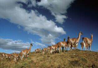 11月 グアナコ 世界動物遺産 2022年カレンダーの画像