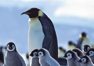 1月 コウテイペンギン 世界動物遺産 2022年カレンダーの画像