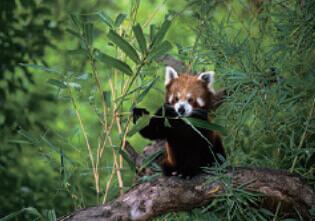 2月 レッサーパンダ 世界動物遺産 2022年カレンダーの画像