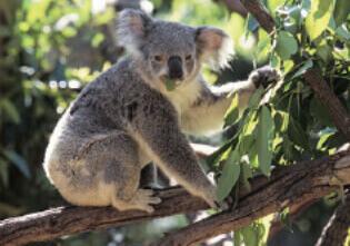 4月 コアラ 世界動物遺産 2022年カレンダーの画像