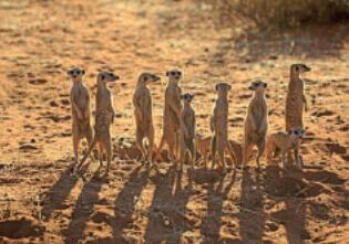 5月 ミーアキャット 世界動物遺産 2022年カレンダーの画像