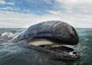 8月 コククジラ 世界動物遺産 2022年カレンダーの画像